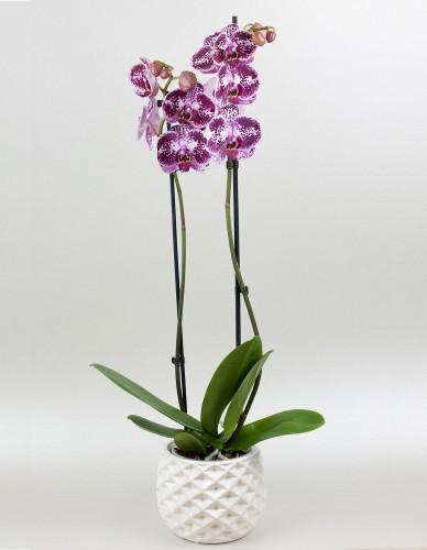 Orchidea dvojvýhonová online donaska kvetov Bratislava