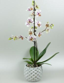 Orchidea jednovýhonová