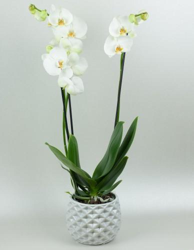 Orchidea trojvýhonová